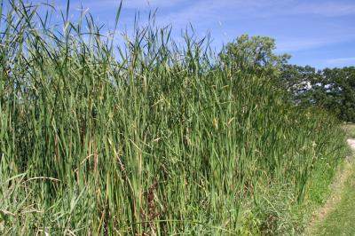 Narrow-leaved Cattail