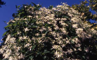 Flowers of Sweet Autumn Clematis