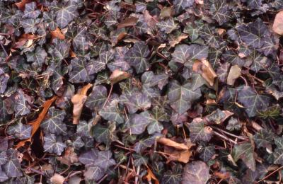 Leaves of English Ivy