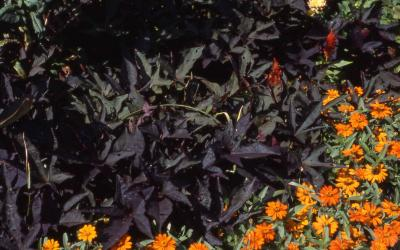 Ornamental Sweet Potato; cultivar 'Blackie'