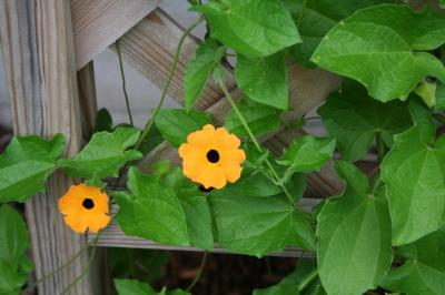 Flowers of Black Eyed Susan Vine