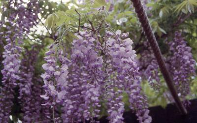 Flowers of Japanese Wisteria