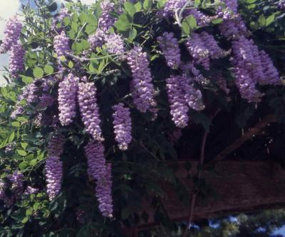Flowers of Kentucky Wisteria