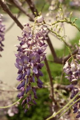 Flowers of Chinese Wisteria