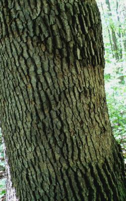 Smooth patch on oak.