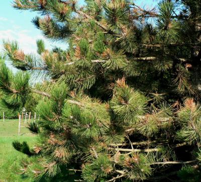 Sphaeropsis tip blight of pine.