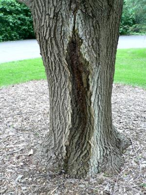 Wetwood symptoms on tree trunk.
