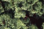 Eastern Arborvitae, American Arborvitae