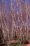 Asian White Birch