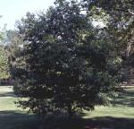American Hornbeam, Musclewood, Ironwood