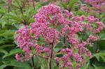 Joe Pye Weed, Bonset