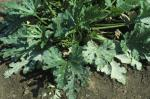Powdery Mildew [Vegetables]