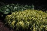 Hakone Grass, Japanese Forest Grass