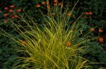 Tufted Sedge