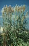Ravenna Grass, Hardy Pampas Grass
