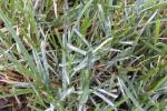 Powdery Mildew [Turfgrass]
