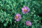 New York Aster, Michaelmus Daisy