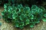 Heartleaf Bergania