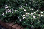 Cranesbill, Hardy Geranium