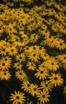 Black Eyed Susan, Coneflower