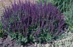 Perennial Salvia