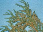 Leaf Miner on Arborvitae and Junipers