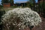 White Doll's Aster, False Aster