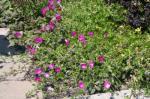Purple Poppy-Mallow, Wine Cups