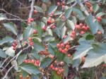 Green Hawthorn