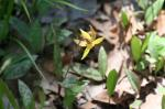 Trout Lily, Fawn Lily, Dogtooth Violet