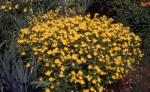 Common sundrops