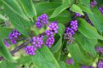 Purple Beautyberry