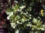 Clove Currant