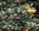 Mentor Barberry
