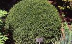 Korean Boxwood