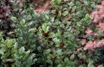 Sweetshrub, Carolina Allspice