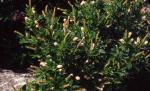 Summersweet Clethra