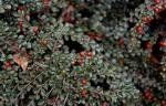 Cotoneaster, Creeping