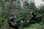 Rose of Sharon, Shrub Althea