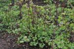 Early Meadow Rue