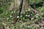 Large White Trillium