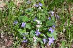 Northern Blue Violet