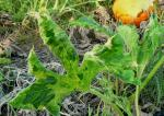 Vegetable Virus Diseases