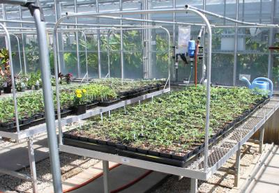 Bedding plants in greenhouse.