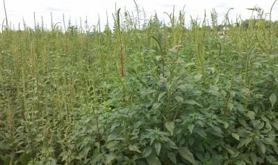 Palmer amaranth growing tall in a soybean field in northern Illinois.