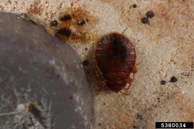 Bed Bugs are a nuisance in the home, but misuse or over-use of pesticides can be harmful to humans and pets. This image shows an adult bed bug and nymphs. Photo: G. Alpert.