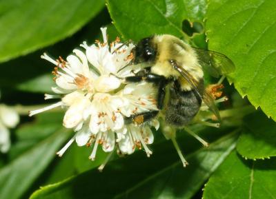 Adult bumblebee.