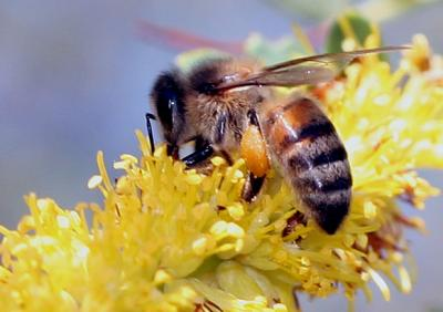 honey bee adult