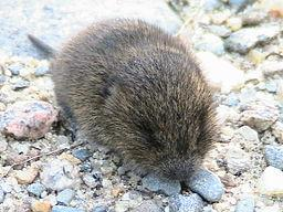 256px-Baby meadow vole