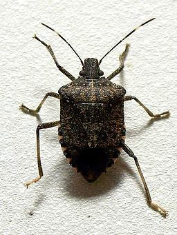 256px-Brown marmorated stink bug